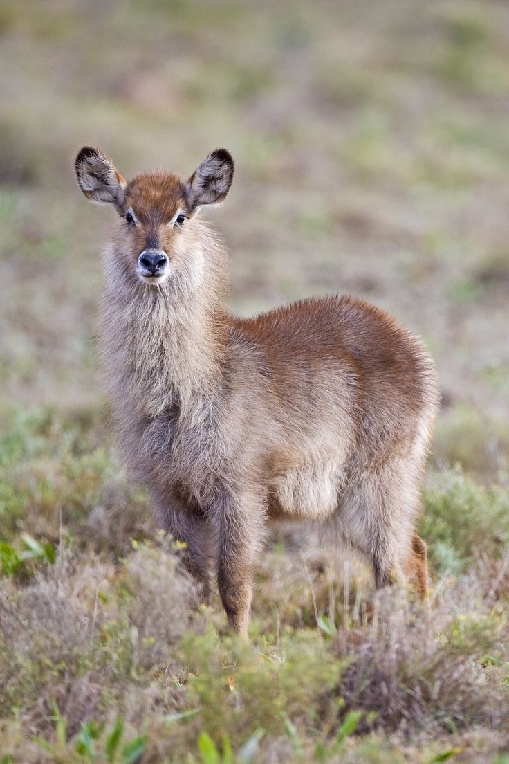 Young Water-buck found on the Amakhala Game Reserve.