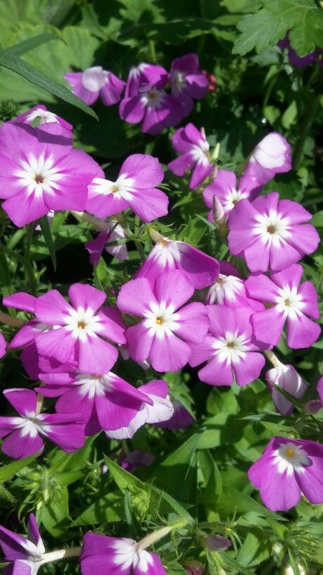 Flores púrpuras bicolor