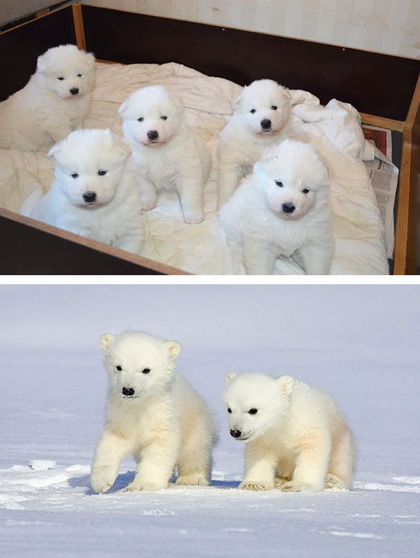 Щенки самоеда и белые медвежата