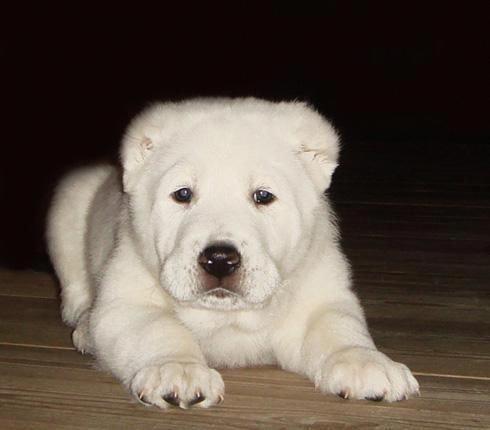Dogdiscountsupplies Dogs Alabai Dog Puppies