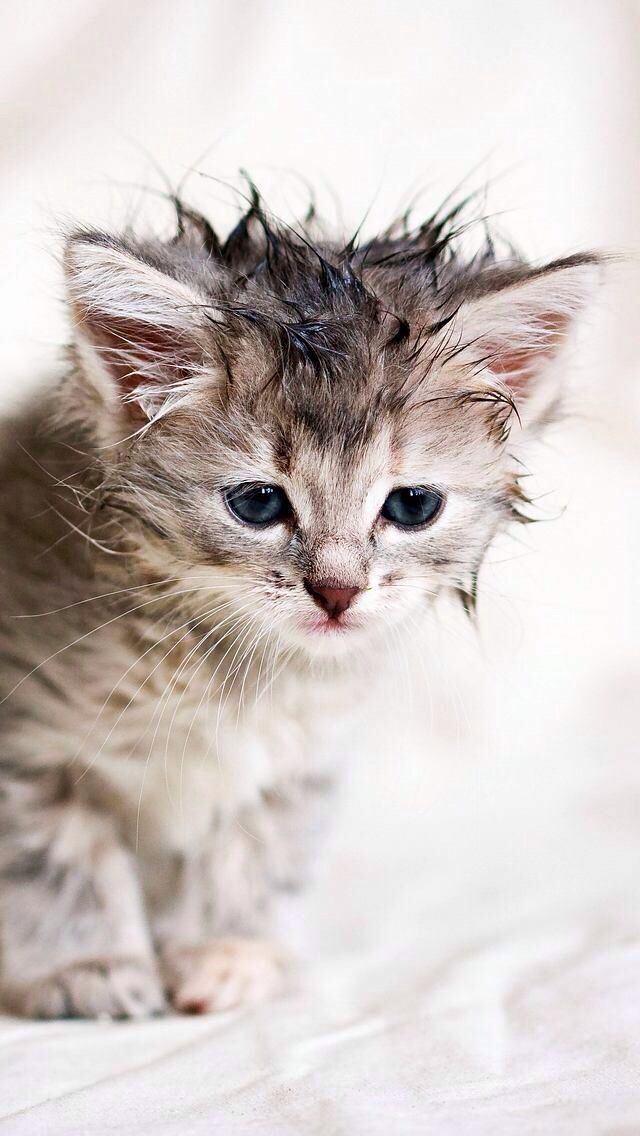 73 Best Wet Cats Images On Pinterest Kitty Cats
