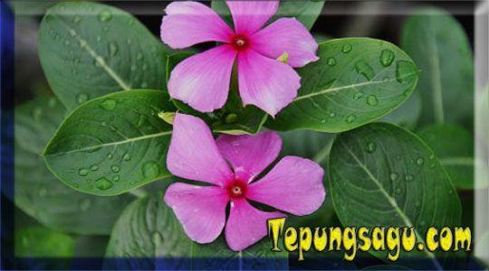 Manfaat bunga tapak dara untuk kesehatan yang snagat unik