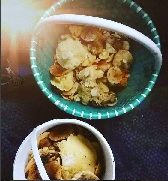 gąski zielonki, grzyby z lasu kaszuby