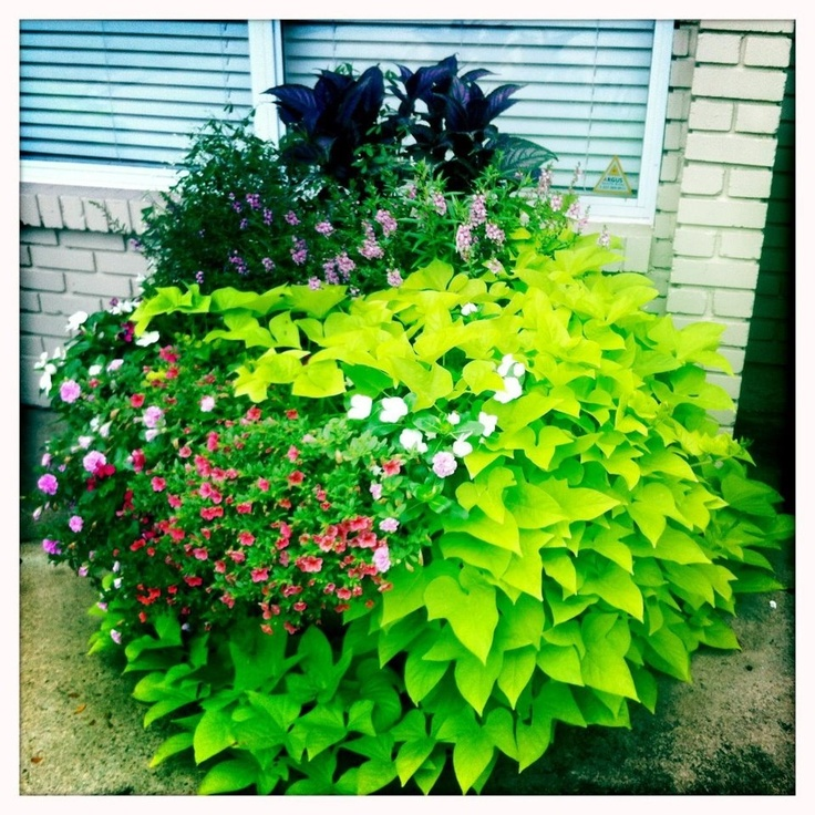 Mixed Container Persian Shield Serena Angelonia White