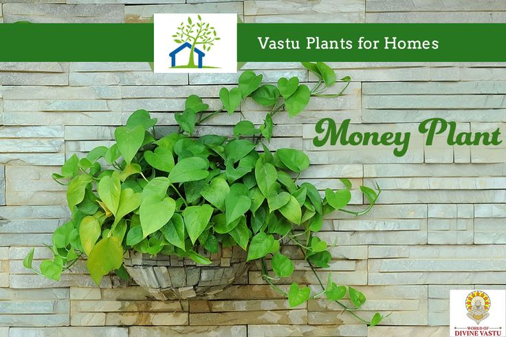 Money plant (Epipremnum aureum) is considered very lucky and there is a belief that money plant leads to the growth in the wealth & life balance. It should be placed either in the North or East direction of the house to attract most positive energy. #Plants #VastuShastra #WorldOfDivineVastu