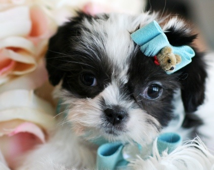 Scooby the Shih Tzu Puppy For Sale #shihtzu #puppy #dog #forsale #sale