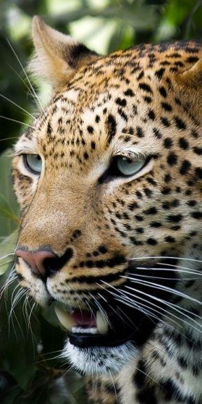 Leopard ♛  ♛~✿Ophelia Ryan ✿~♛                                                                                                                                                     More