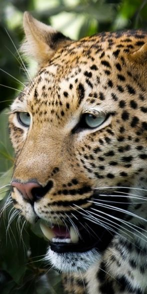Leopard ♛  ♛~✿Ophelia Ryan ✿~♛                                                                                                                                                     More
