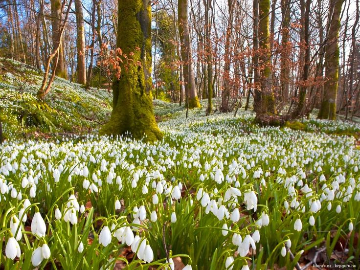 Snowdrop field in the Pannonhalma Archabbey's arboretum - the largest snowdrop field in Hungary
