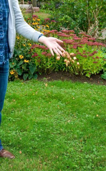 Der Trick für eine möglichst harmonische Verteilung der Krokusse im Rasen ist simpel: Nehmen Sie einfach eine Handvoll Knollen und werfen Sie diese in die Luft (links). Anschließend pflanzen Sie jede Knolle dort ein, wo sie zu Boden gefallen ist. Ein Unkrautstecher, mit dem man üblicherweise Löwenzahn und andere tief wurzelnde Wildkräuter aus dem Rasen entfernt, eignet sich vorzüglich zum Pflanzen von Krokus-Knollen. Stechen Sie damit einfach ein Loch in die Grasnarbe (rechts) und weiten Sie…