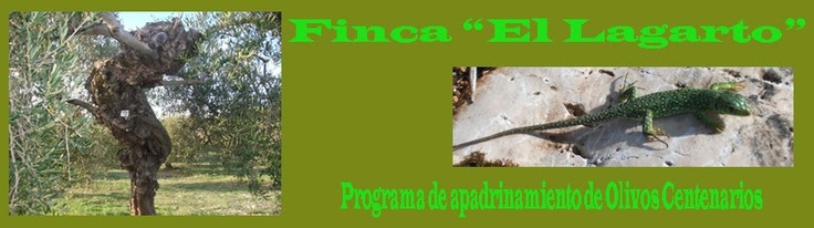 Apadrina un olivo centenario - Adopt a centenary olive tree