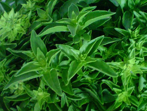 Hogyan gyógyít a bazsalikom (Ocimum basilicum)? 1. rész - Fűszernövények - Konyhakert