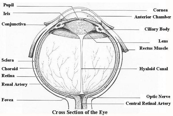 17 best ideas about human eye diagram on pinterest
