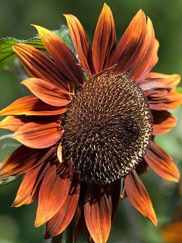 Sunflower Chocolat