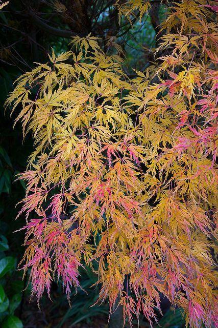 Acer Palmatum Seiryu In Autumn Flickr Photo Sharing