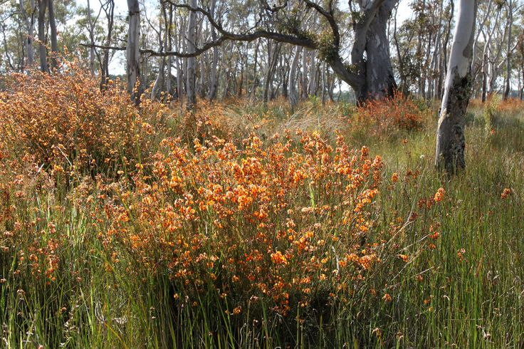 dillwynia cinerascens - Google Search