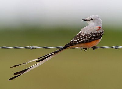 they're back! One of my top 5 favs, scissortail flycatchers.