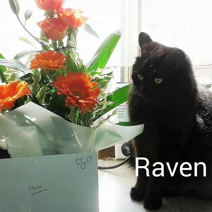 Raven could be anywhere in Australia, She vanished between 10:30am – 3pm from either the PARKING LOT behind our fence in Russell Street & Fuller Street or at the front of our home in Russell Street Tumut NSW. Rave is Black with Med – long Hair with a fluffy firefox style tail, Medium build, yellowRead More
