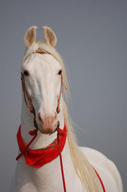 Beautiful white Marwari stallion, a rare breed of horse from the Marwar