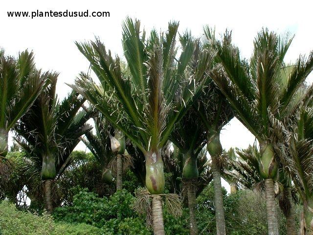 Gallery of nouvelle zlande le seul palmier endmique du for Pret pour terrain seul