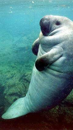 Manatee ❤️ // i love these gentle creatures!!! interesting fact about manatees...they belong to the order Sirenia. My guess is because they were mistaken for women by sailors (who had been at sea for way too long), much as the sirens who called to Odysseus centuries ago ....