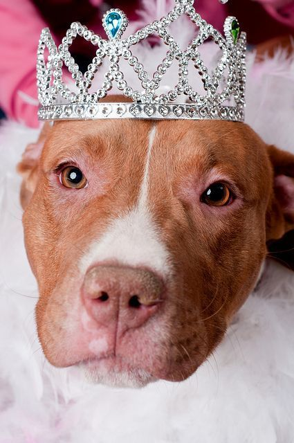 """Yea, so going to attack you. """" Look out its a Pitt Bull wearing a tiara. RUN!"""" #PitBullCare"""