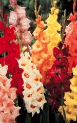 Gladiolus bulbs - Bulb forming geographical annual