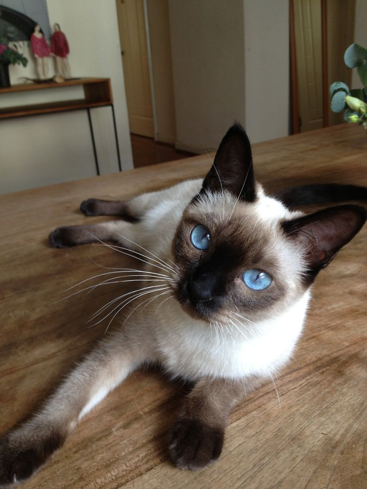"""""""Come home with me, Little One"""".........I lost my baby Tonkinese, Roxane, 5 years ago, (Tonks are a Siamese/Burmese mix), and once you have loved a Siamese, you can't go back....sigh...."""