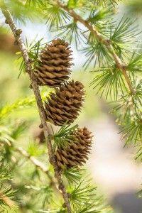Die Lärche Larix decidua, auch Lorchbaum, Lörbaum, Schönholz genannt.  Das Lärchenharz war in früheren Zeiten, besonders in den Alpenregionen, ein sehr beliebtes Heilmittel. Am besten bekannt war es in Form der Zugsalbe. Leider gerät es immer mehr in Vergessenheit.  Die Lärche ist ein immergrüner Nadelbaum und wächst besonders in den Alpen. In Gebirgswäldern findet man sie auch gerne alleinstehend. Die Lärche kann eine Höhe bis zu 30 Meter erreichen. Ihre Rinde ist bei den jungen Bäumen eher…