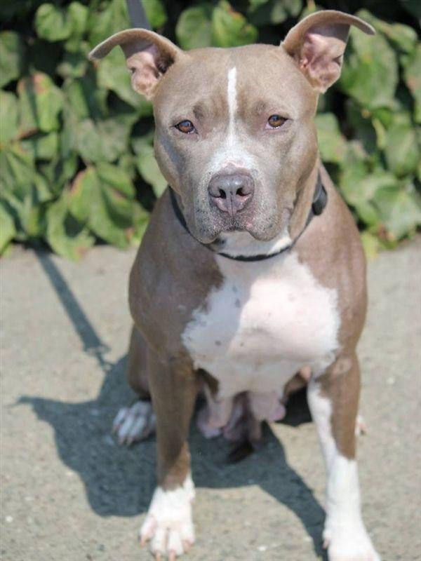 Adopt Zelda On Pitbull Terrier Dogs Bull Terrier