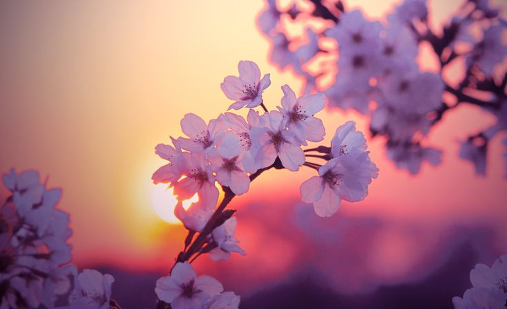 Adoro los cerezos en flor