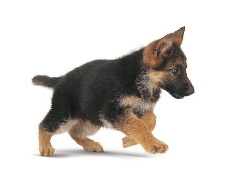 Cachorito corriendo