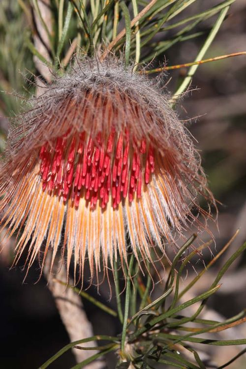 Banksia splendida, commonly known as Shaggy Dryandra, is a shrub endemic to Western Australia. It was known as Dryandra speciosa until 2007