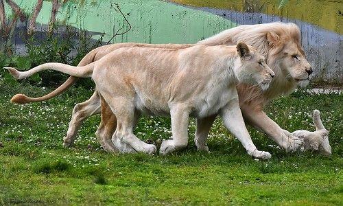 Белые львы на прогулке ...