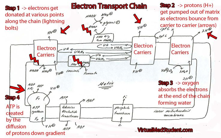 The electron transport chain is one complicated beast...