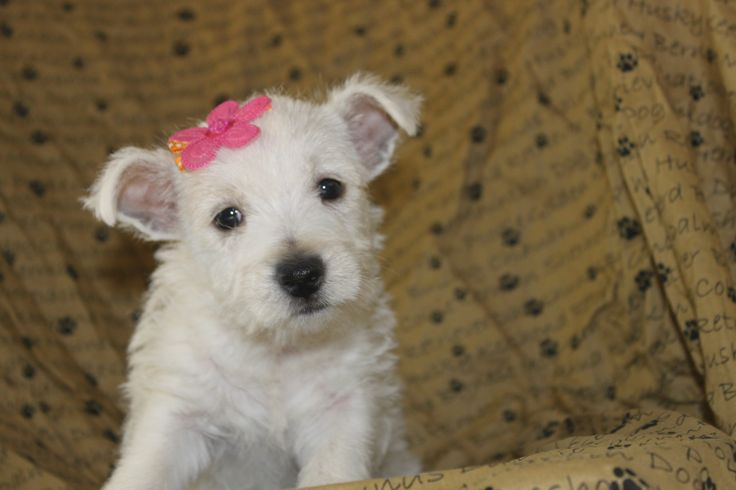 We just updated the westie breed profile picture posted at http://www.network34.com