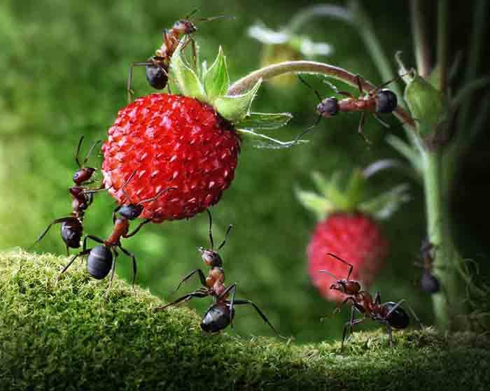ants strawberry 2160862k Ants life Micro Photography