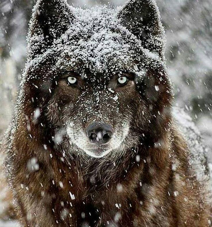 .....solo la nieve es mas blanca, que su belleza, ferocidad,y fortaleza es único y nadie los cuida.