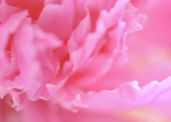 Jane Star Photograph - Pink Gentleness by Jane Star  #JaneStar #Peony #Pink #Flower #ArtForHome #InteriorDesign #HomeDecor