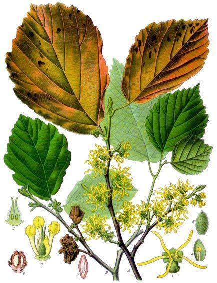 ΒΟΤΑΝΑ ΚΑΙ ΥΓΕΙΑ: αμαμηλίδα το κατ΄εξοχήν βότανο για τους κιρσούς,τις ευρυαγγείες και τις αιμορροΐδες
