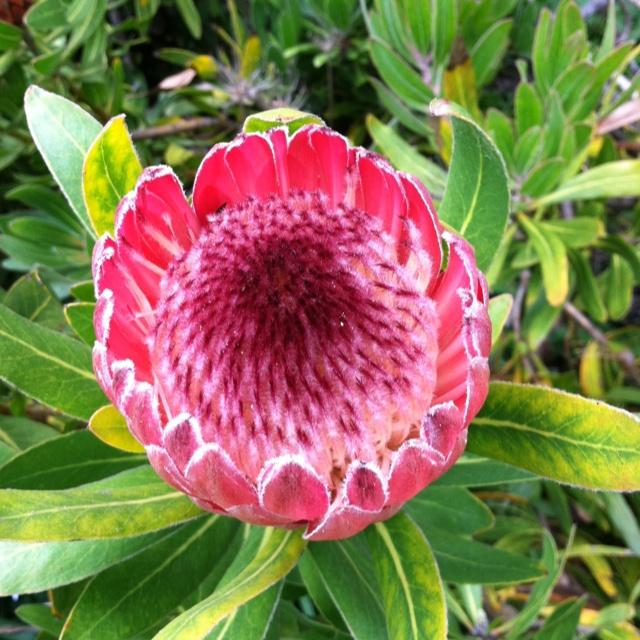 Pink ice - San Francisco Botanical Gardens: Francisco Botanical, San Francisco, Botanical Gardens