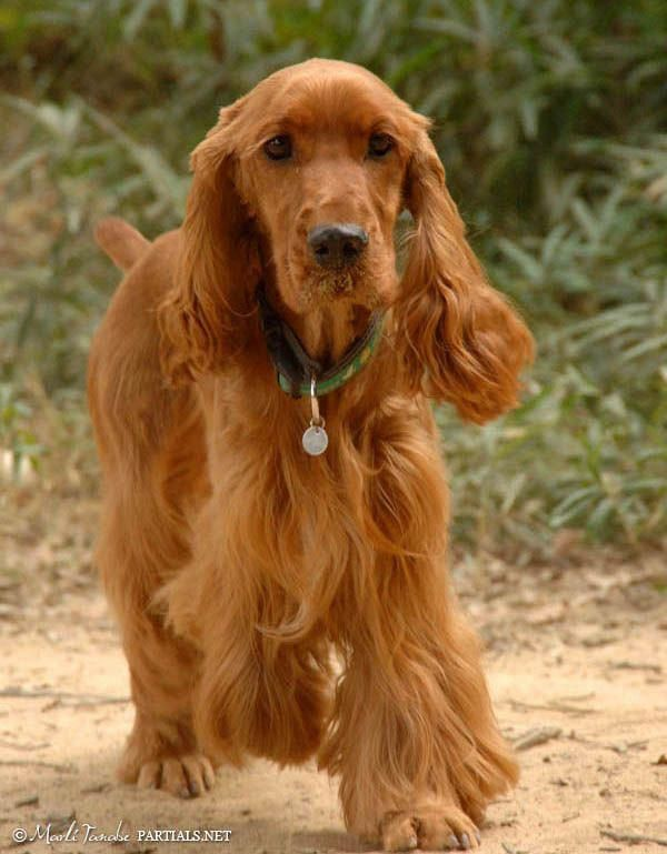 Figure Out More Information On Spaniels Have A Look At Our Site Dogs English Cocker English Cocker Spaniel