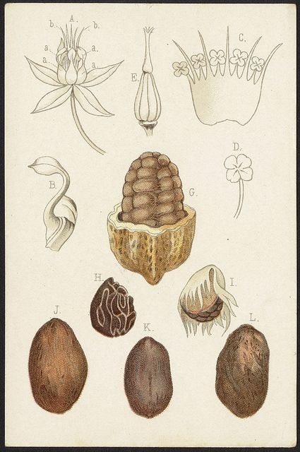 Theobroma Cacao [front] by Boston Public Library, via Flickr