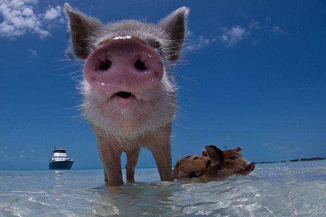 cochons nageurs des bahamas 7   Les cochons nageurs des Bahamas   porc photo natation nageur image ile cochon bahamas