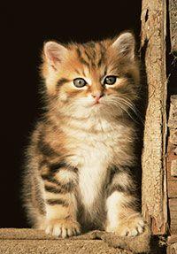La guida del gattino Prendersi cura dei neonati È importante pulirsi le mani prima di manipolare i neonati. Normalmente le gatte recidono il cordone ombelicale. Se questo non avviene deve essere tagliato ad una distanza di 3,5 – 4 cm con strumenti sterilizzati e applicando un'idonea soluzione antisettica. I gattini ottengono la loro prima immunità sistemica in modo passivo attraverso il colostro e l'immunità locale... Leggi tutto