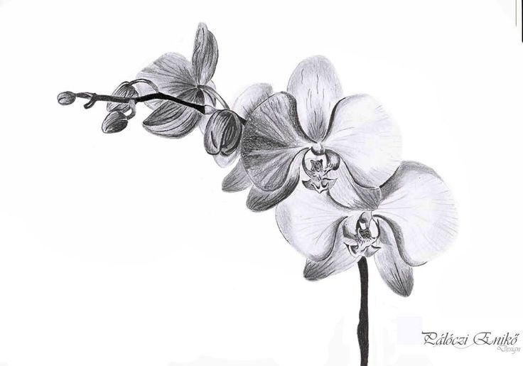 Orchid Graphite Drawing Artistic Pinterest Drawings
