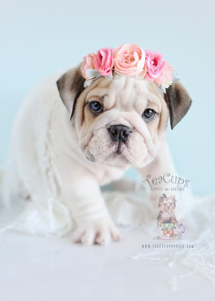 What A Stunning Little English Bulldog Puppy Www Bullymake Com