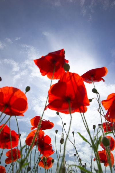 though poppies grow in flanders fields...