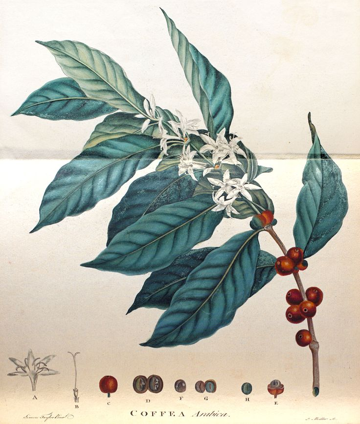 An illustration of a coffee plant, from An Historical Account of Coffee, by John Ellis, 1774.