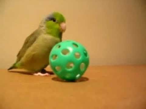 (CUTE VIDEO) Tiny Bird, Koolaid, Talking & Running After His Ball!